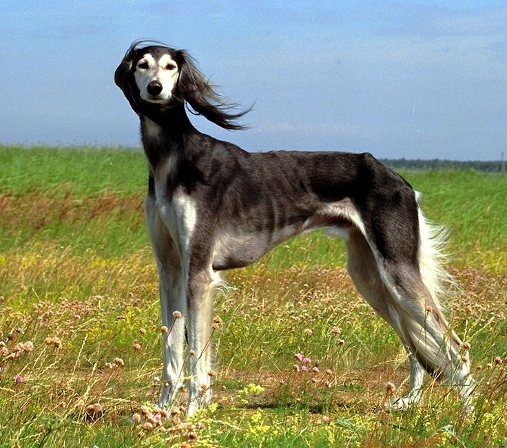 saluki | Saluki pictures, information, training, grooming and puppies.