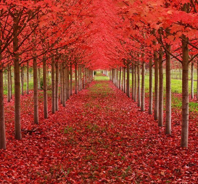 楓(かえで)のツリートンネル(アメリカ・オレゴン州)