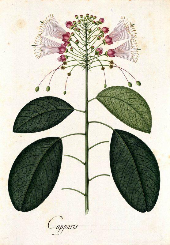 Capparis. Proyecto de digitalización de los dibujos de la Real Expedición Botánica del Nuevo Reino de Granada (1783-1816), dirigida por José Celestino Mutis: www.rjb.csic.es/icones/mutis. Real Jardín Botánico-CSIC.