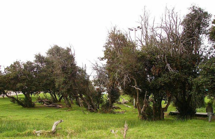 """Myrceugenia exsucca , Petra o Pitra Remanente de un bosque de """"Petra"""" (Myrceugenia exsucca)"""
