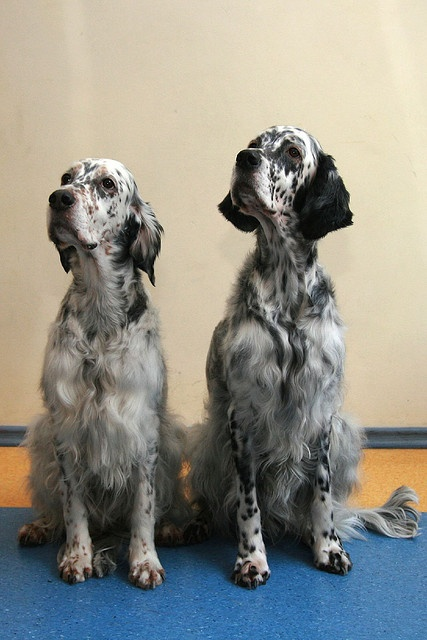Tri-color and Blue Belton colored English Setters.  Photo: Marttiku via flickr