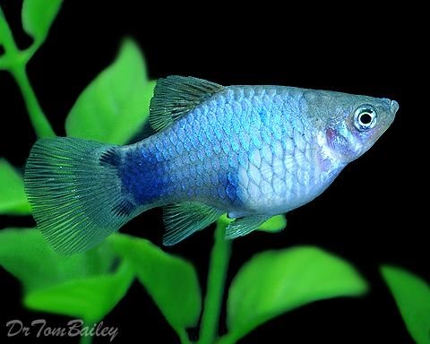 Blue Mickey Mouse Platy (Xiphophorus maculatus) I want this cuute little fishy!!