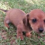 Red Smooth Coat Teacup Miniature Dachshund Puppy