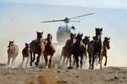 In the states of Nevada, Wyoming and Colorado, several times a year, the Bureau of Land Management conducts a wild horse and burro roundup. Using helicopters and flying low enough to nearly touch the backs of their prey, they herd thousands of these horses and burros into chutes that were previously set up, funneling the mares, stallions, and foals into a holding pen. Herds and family groups are broken up, many animals are injured, some even die during this desperate run.