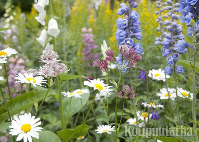 Cottage Garden hengessä tehty perennapenkki on päivänkakkaroineen mitä kesäisin suomalainen näky! www.kotipuutarha.fi