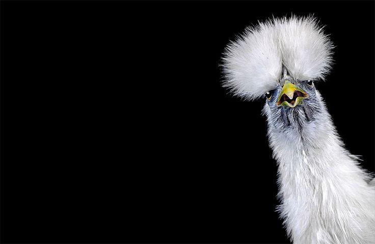 The Bizarre World of Chicken Beauty Pageants | facebook.ghantagiri.com