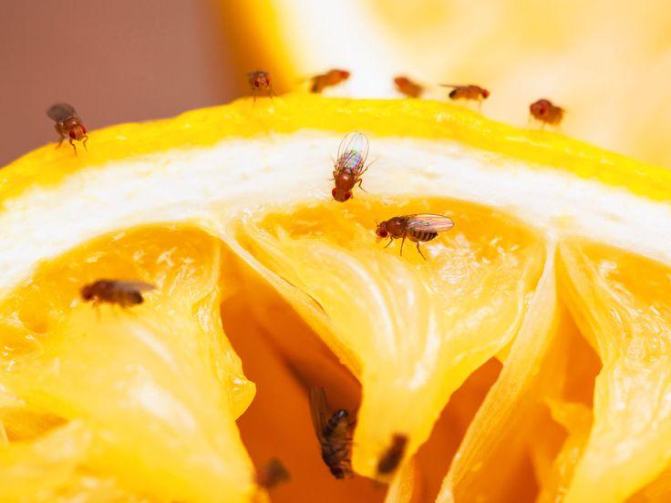 Was hilft gegen Fruchtfliegen? Wir verraten, wie du den lästigen Insekten vorbeugen kannst und wie du sie am effektivsten aus der Küche verbannst.