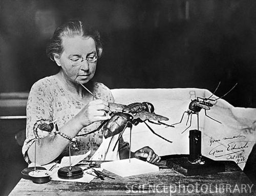 Grace Edwards with insect models, 1926.    Edwards was employed by the Entomology Department of the Natural History Museum, London to prepare illustrations and models of specimens.