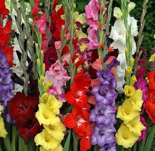 Cara Budidaya Tanaman Hias Gladiol yang Benar - http://bibitbunga.com/blog/cara-budidaya-tanaman-hias-gladiol-yang-benar/