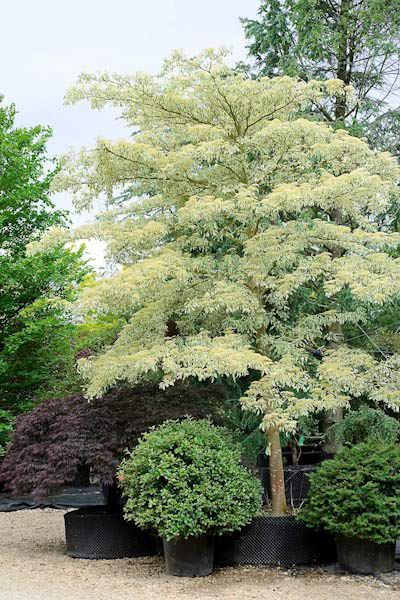 is the wedding cake tree deciduous 19 best images about cornus controversa on the 16503