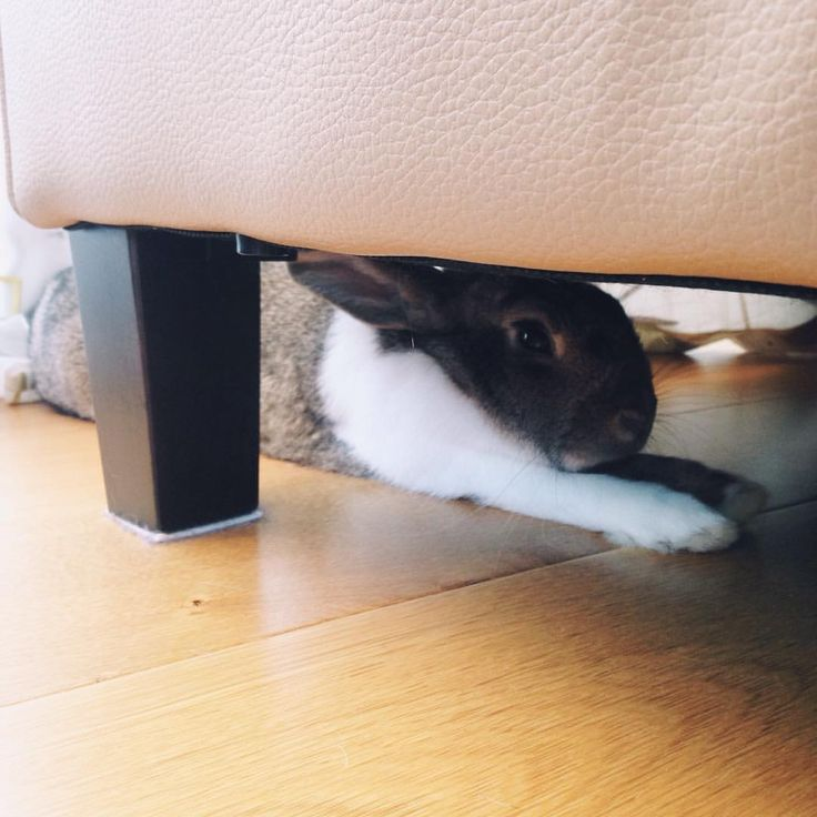 Odie has found her favourite spot at my parents house #vscocam #bunniesofinstagram #housebunny