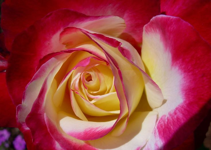 """Double Delight""  - Rose"