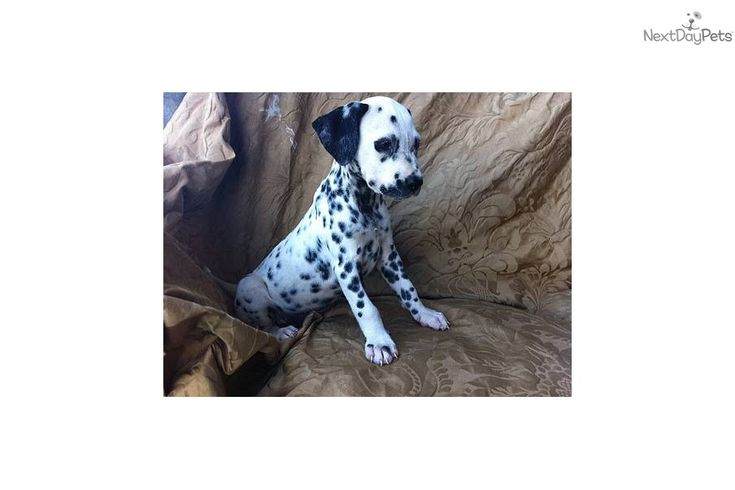 new year's dalmatians | Meet Female a cute Dalmatian puppy for sale for $800. beautiful new ..