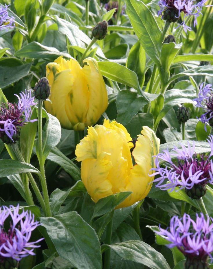 51 besten zwiebelblumen bilder auf pinterest pflanzen hyazinthe und tipps. Black Bedroom Furniture Sets. Home Design Ideas