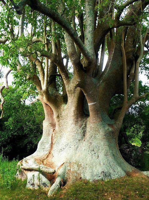 ombu tree..arbol de la pampa argentina...es una hierba