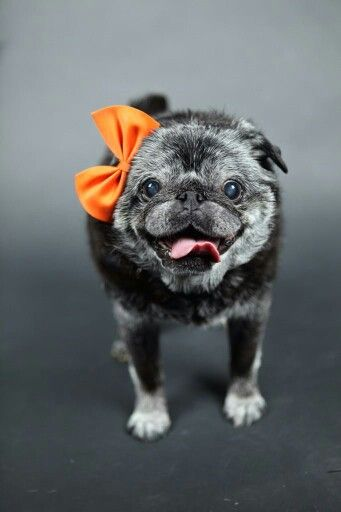 #puglife There is something so sweet about an older pug!