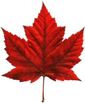 Another image of a Canadian Maple Leaf from the tree of the same name. It produces sap for maple Syrup. mmmm
