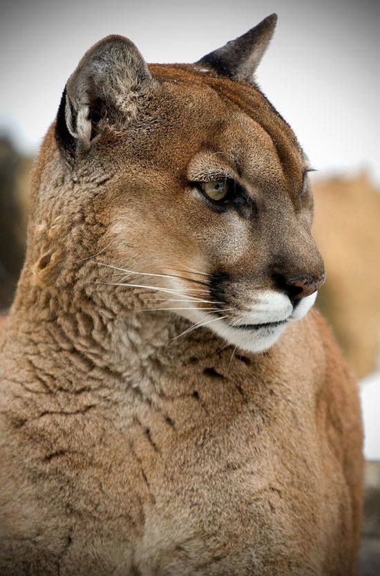 Training Big Cats In Zoos