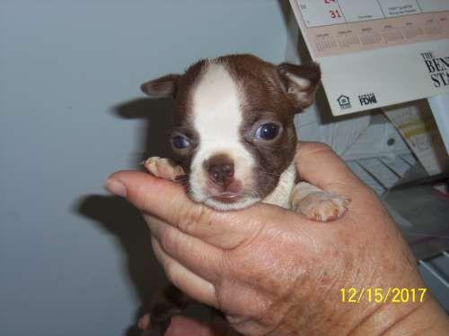 Boston Terrier puppy for sale in TUCSON, AZ. ADN-58541 on PuppyFinder.com Gender: Female. Age: 6 Weeks Old