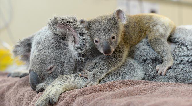 Yavru koala Phantom ameliyat olan annesine sarılarak destek verdi