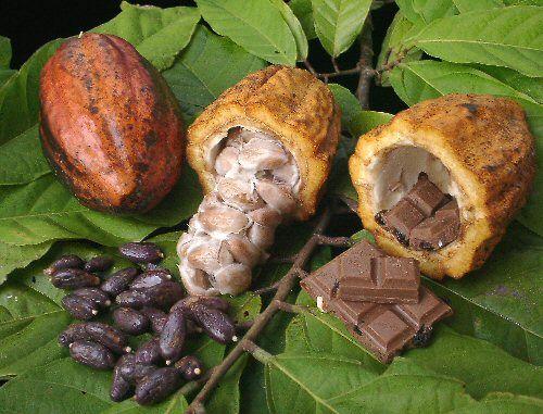 """los granos de Cacao. El cacao es la fuente más importante de antioxidantes"""""""