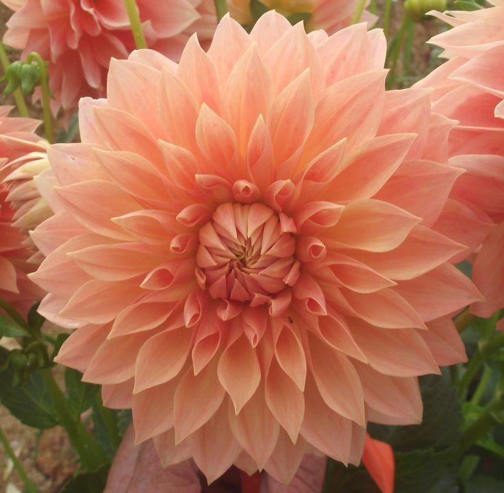 "Hamilton Lillian Dahlia (4-6"" bloom; 3' bush): pale orange; prize winning decorative."