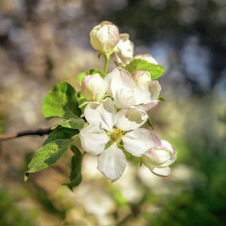 Jane Star Photograph - Springtime - Blooming Tree - 3 by Jane Star  #JaneStar #Spring #AppleTree #ArtForHome #InteriorDesign #HomeDecor