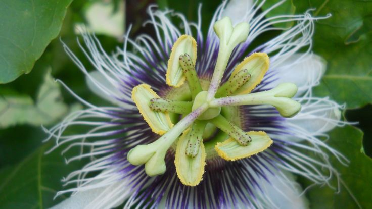 cover ugly views or old fences with passionfruit vines