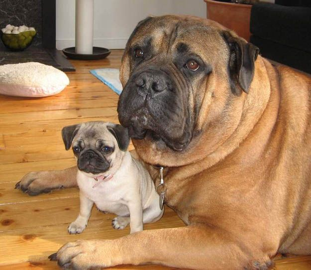 35 Animals Hanging Out With Miniature Versions Of Themselves: Pugs Puppies, Funny Dogs, English Mastiff, Baby Animal, Bull Mastiff, Baby Photo, Little Dogs, Big Dogs, Minis Me