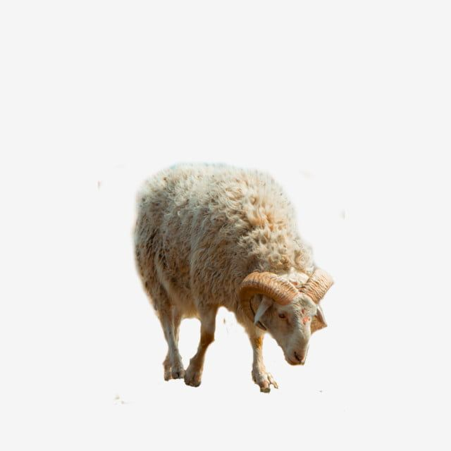 A Sheep Eid Al Adha Sheep Clipart Sheep Animals Png Transparent Clipart Image And Psd File For Free Download Eid Al Adha Art Background Sheep