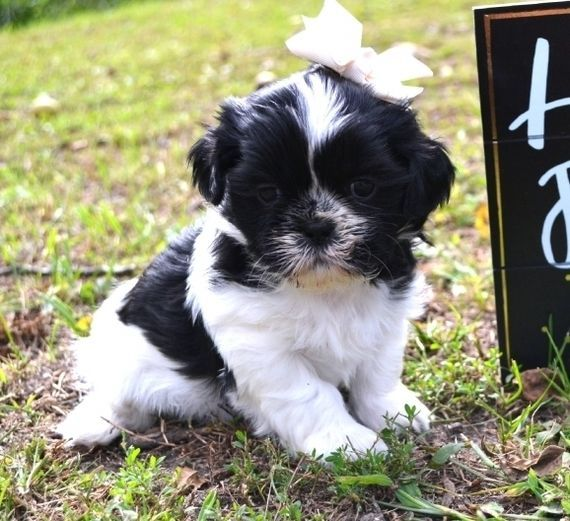Lucy Is A Female Shih Tzu Puppy For Sale At Puppyspot Call Us