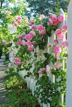 Old fashioned pink climbing roses along a white picket fence. So pretty!
