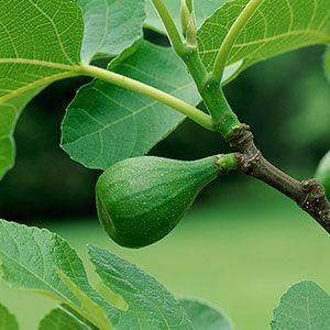 Caring for fig trees