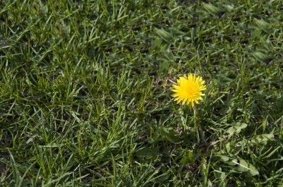 Dandelion Removal: How To Kill Dandelions - Dandelions will push out grass and other plants, as well as sapping water and nutrients away from surrounding plants. For this reason, controlling the weed is important. Learn more in this article.