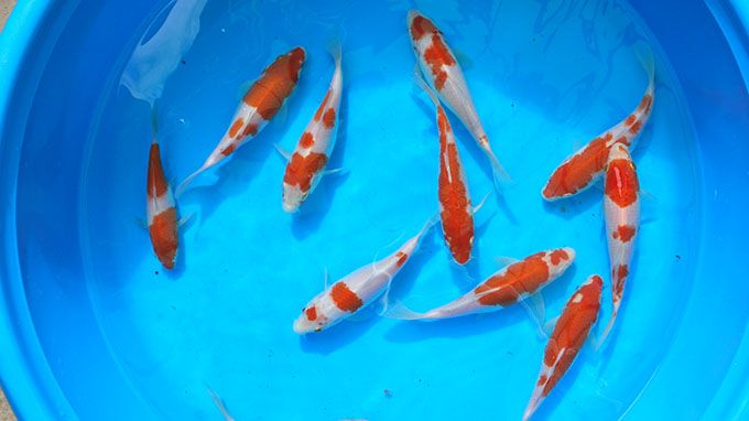 17 best images about white buffalo power animal on for Japanese koi fish wholesale