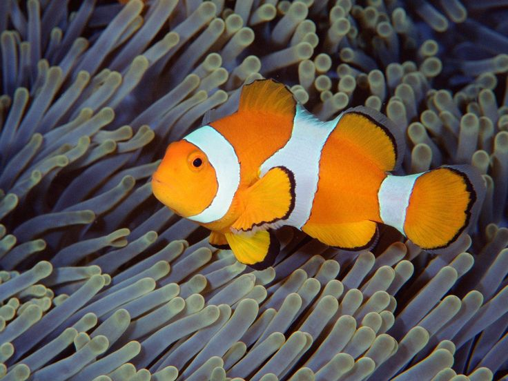 Clownfish Wallpapers - Wallpaper Cave | Free Wallpapers ...