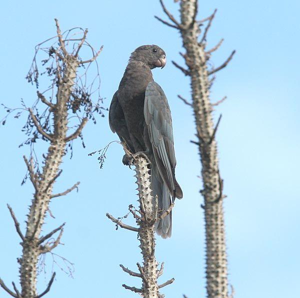 The lesser vasa parrot or black parrot (Coracopsis nigra) / Малый попугай-ваза