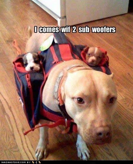 Haha! This pit is carrying her pups in a doggie back pack!