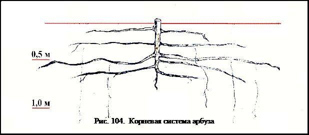 Корневая система арбуза
