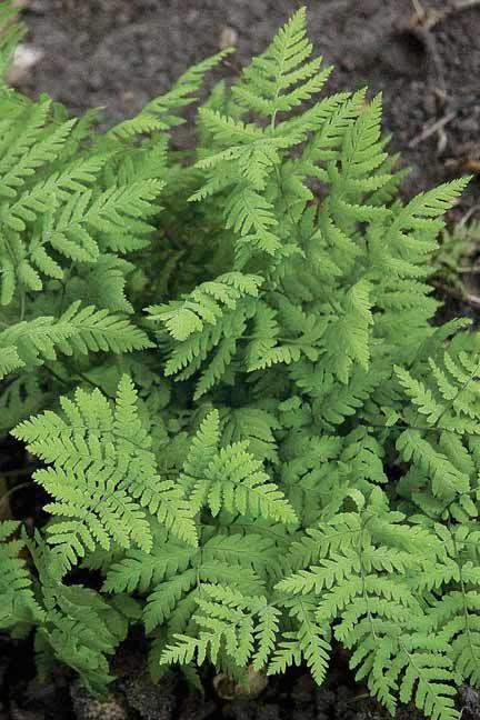 Do Ferns Grow Under Oak Trees : Plants garden makeover new beds shade native ferns