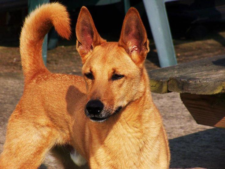 My Dog Looks Like A Dingo