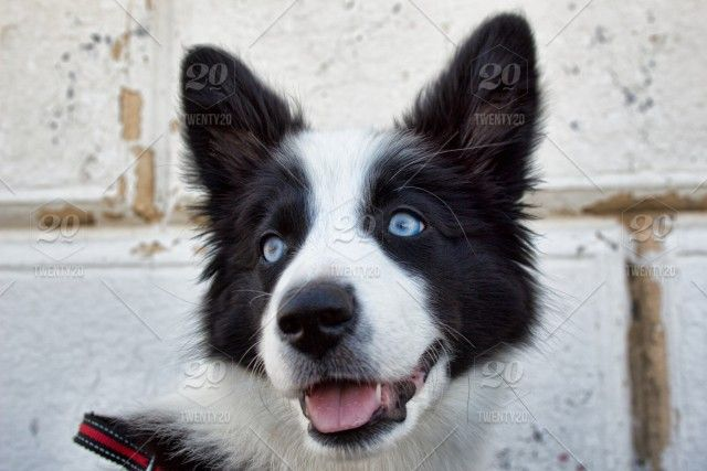 Puppy Finder Find Buy A Dog Today By Using Our Petfinder Collie Puppies For Sale Border Collie Puppies Collie Puppies