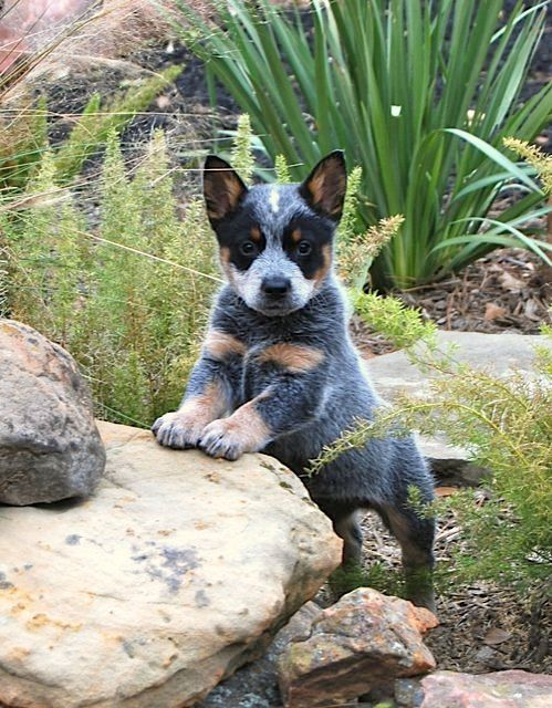 Blue Heeler Puppy Pinned from countrywisher.tumblr.com