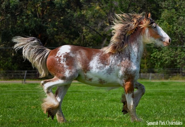Beautiful Clydesdale! Look at that Sabino!