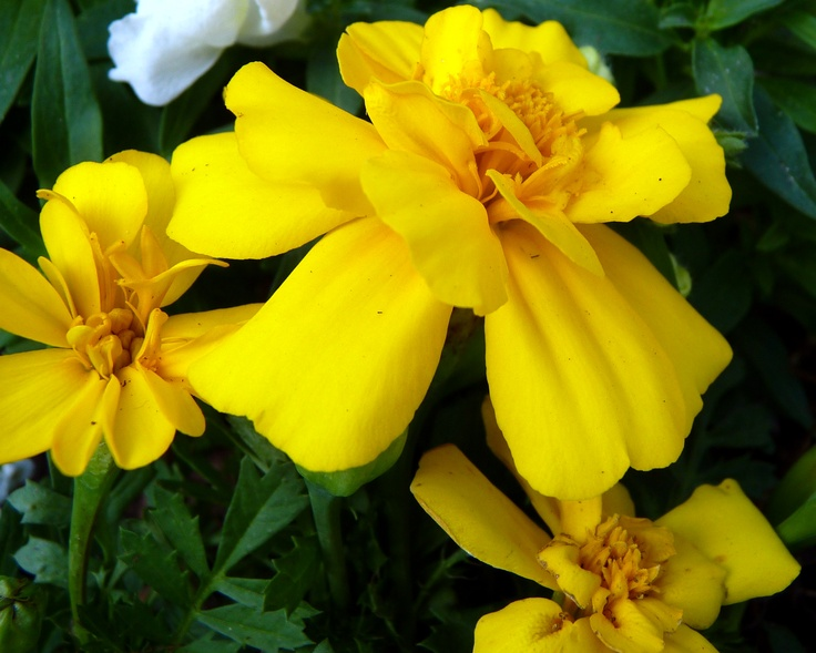 French Marigold 'Durango Yellow' (Tagetes patula)