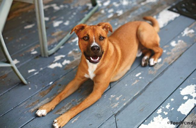 German Shepherd Pitbull Mix Dog Breed Guide For 2020 Pitbull