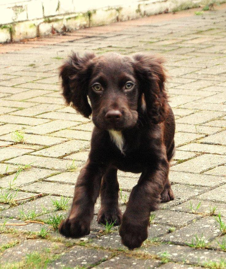 Boykin Spaniel puppy. Looks just like my Charlotte!!
