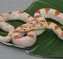 Reverse Okeetee Corn Snake