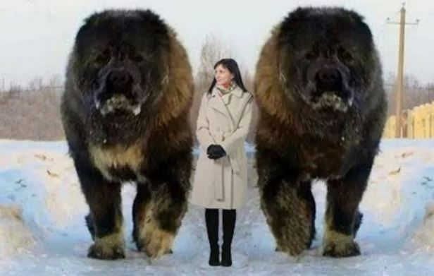 Picture Of Largest Dog In The World