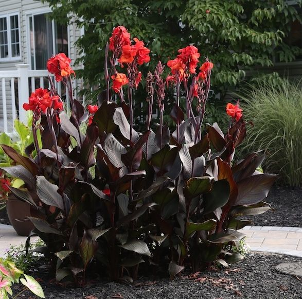Tropicanna is the most popular canna lily of all time. Its colorful siblings are equally spectacular and all three deserve a spot in your garden.